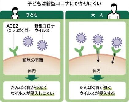 고령자일수록 많은 ACE2 단백질은 코로나 바이러스가 체내에 침투할때 입구역할을 한다. (그래픽=니혼게이자이신문)