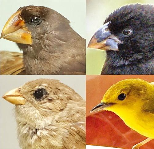 갈라파고스 제도에서 발견된 다양한 모습의 핀치새.