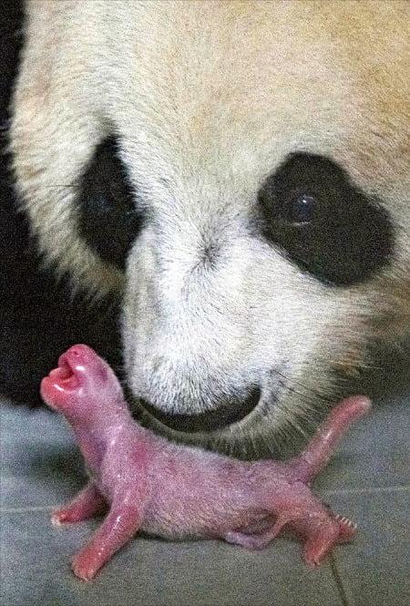 에버랜드는 지난 20일 국내에서 처음 자연번식으로 태어난 자이언트판다 새끼를 22일 공개했다. 아기 판다는 키 16.5㎝, 몸무게 197g의 암컷이다. /에버랜드 제공