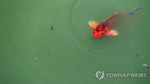무더위에 낙동강 녹조 '스멀스멀'…상수원 대책 논의