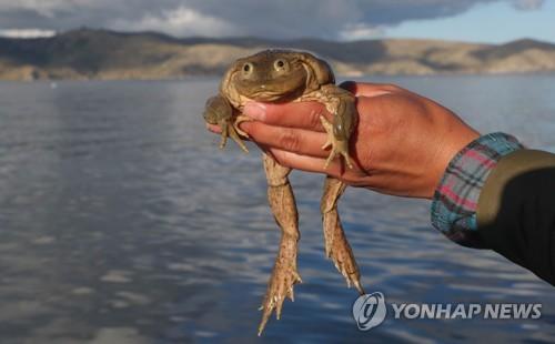'멸종위기' 티티카카 왕개구리 구하기 머리 맞댄 국제 연구팀