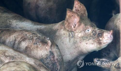 """코로나19 이어 'G4' 돼지독감 유행할까…당국 """"상황 예의주시"""""""