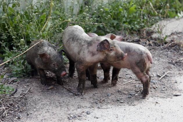 중국에서 신종 코로나바이러스 감염증(코로나19)에 이어 세계적 대유행(팬데믹) 가능성이 있는 돼지 인플루엔자(독감) 바이러스가 새로 발견됐다는 학계의 연구 결과가 나왔다. 방역당국은 현 시점에서 돼지 독감 바이러스가 즉각적으로 대응해야 할 위험요소는 아니라고 평가했다. 사진은 기사와 관계 없음. 사진=연합뉴스