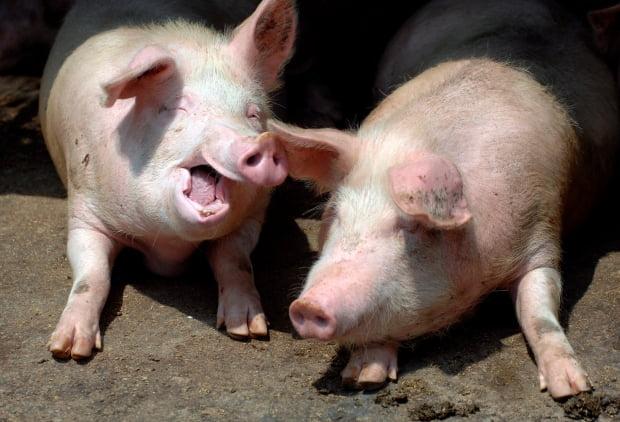 중국 칭다오시 농촌의 한 돼지농장 모습. 중국 과학자들이 유행병을 일으킬 수 있는 신종 돼지 독감을 발견했다고 주요 외신들이 보도했다. EPA