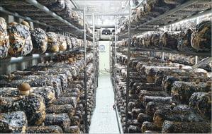 동명대가 대학 내 생산공장에서 재배한 '동명아미고' 버섯을 선보이고 있다. 동명대 제공