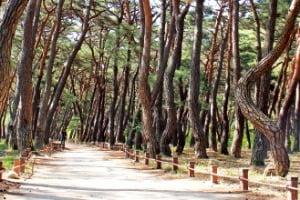웅장한 소나무 숲길인 청도 운문사 솔바람길
