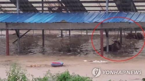남부 폭우 가축에도 '대재앙'…타고난 수영선수 한우 '떼죽음'