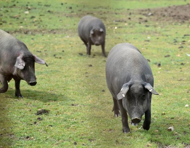 '이베리코=100% 흑돼지'…고깃집 사장이 증명하라는 정부