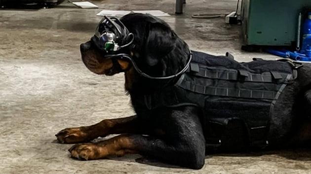 증강현실(AR) 고글을 쓰고 있는 훈련견./ 사진=커맨드사이트, 미 육군