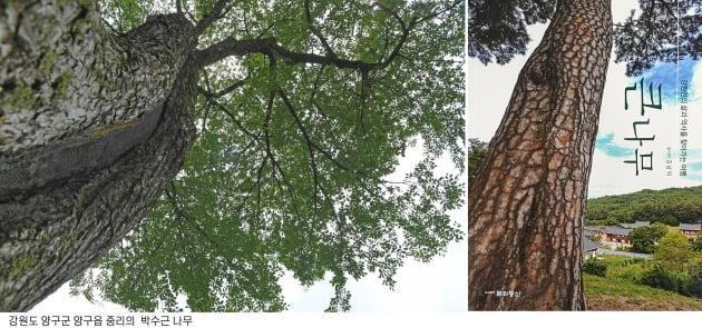김남덕의 '큰 나무', 강원도 나무에 숨었던 이야기 보따리를 풀어 놓다