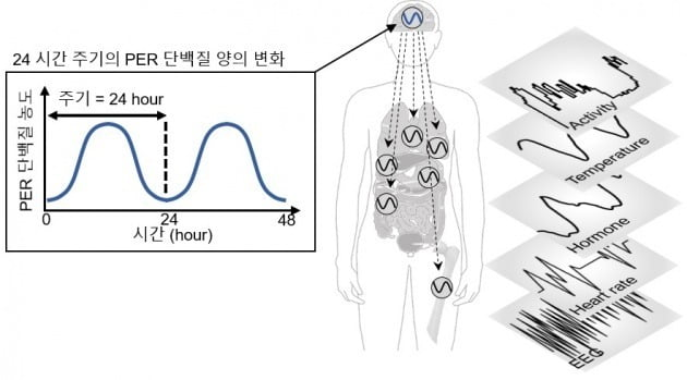 PER 단백질과 24시간 생체주기