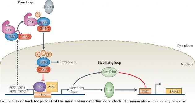 PER 단백질과 인산화 스위치, 음성피드백 루프 개념도