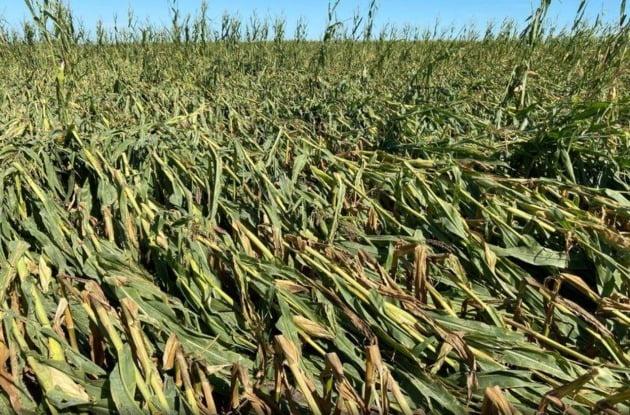 지난 8월 가뭄에 연이어 폭풍 피해를 받은 미국 아이오와주 옥수수밭 모습. /사진=로이터