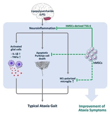 염증성 소뇌실조증 동물모델에서 줄기세포의 치료효과 모식도./자료 제공=코아스템