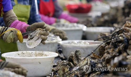김장철 앞두고 남해안 생굴 경매가격 '고공행진'