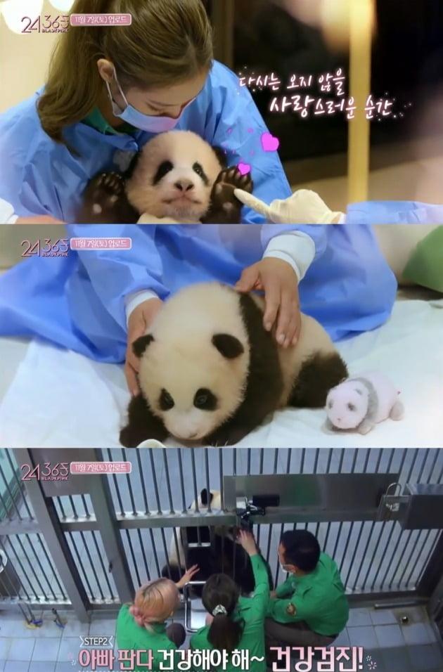중국 네티즌들이 블랙핑크가 맨손으로 판다를 만져 판다의 건강을 위협했다고 지적했다. / 사진=블랙핑크 유튜브 영상 캡처