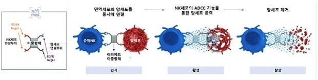 암세포 발현 수용체 표적형 Innate Cell Engager(ICE)의 작용 기전.