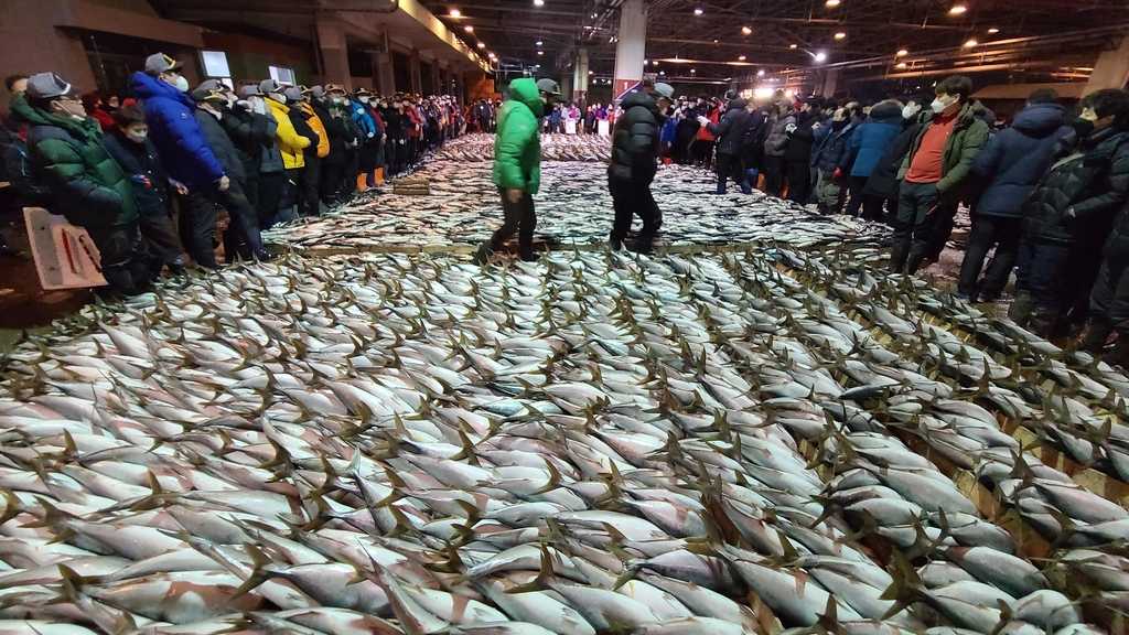 부산어시장서 겨울철 인기 방어 20만 마리 위판