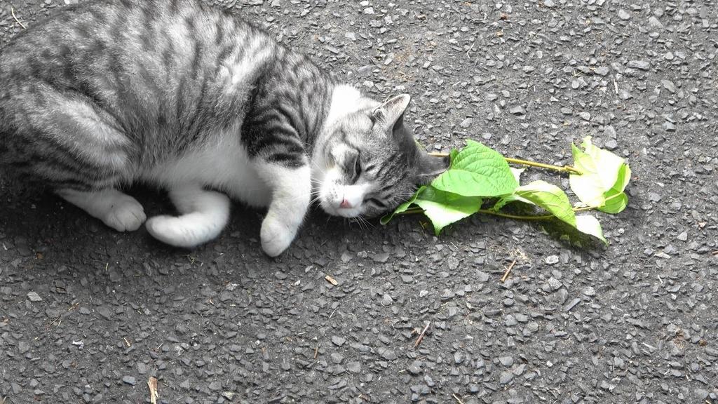 고양이가 캣닙·개다래나무 잎에 사족을 못 쓰는 이유는