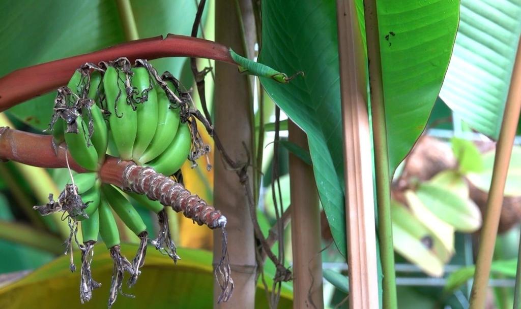 [에따블라디] 혹한의 땅에서 열대과일 바나나·감귤이 자란다면