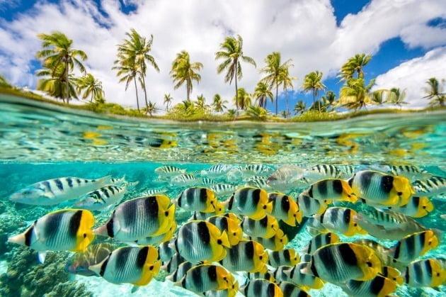 그 외 TPOPY가 주목해야 할 사진으로 선정한 작품들 - 다나 앨런, 타히티 타하아 섬 / 타히티 타하아 섬에서 발견된 태평양의 이중 안장 나비 물고기 (chaetodonulietensis) 무리