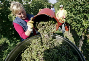 Winemaker Margarte Troescher harvests Mueller-Thurgau grapes in the vineyards of Munzingen, southern Germany, on Tuesday, Sept. 16, 2008. German wine growers expect a  wine in good quality from this year's grapes, if the weather stays warm and friendly. (AP Photo/ Winfried Rothermel)  /2008-09-16 21:15:55/