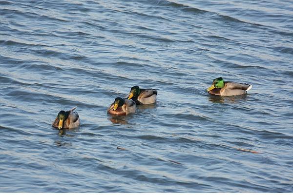 부산 낙동강 하구 가장 많은 새는 청둥오리·큰기러기