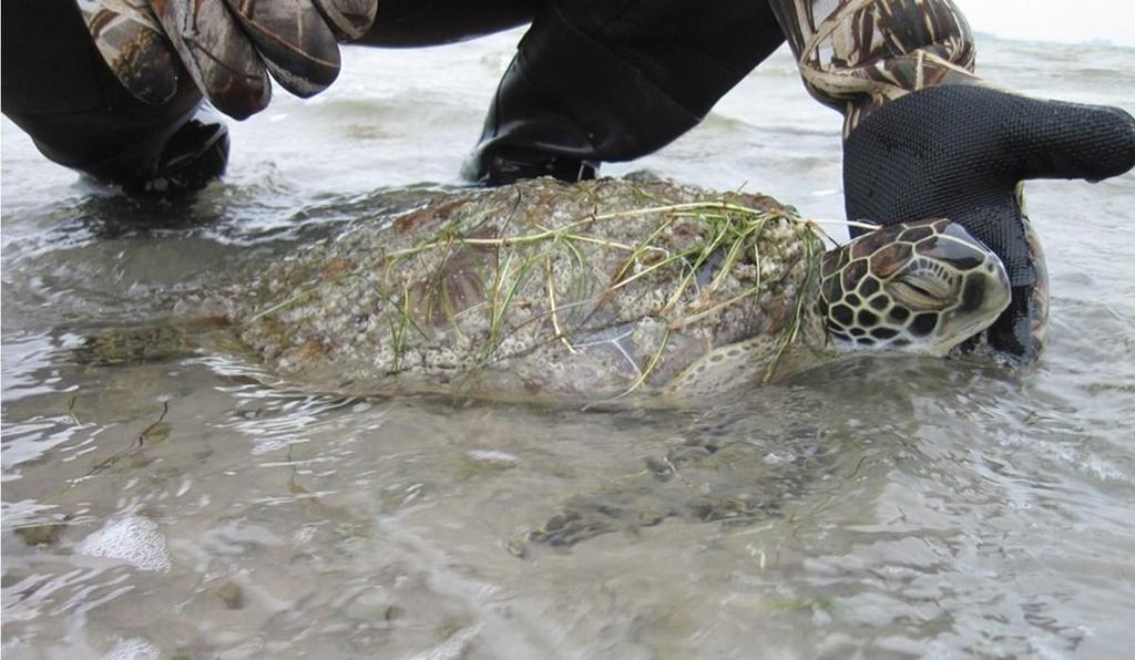 미 텍사스 최강 한파에 '기절한' 바다거북 속출…4천500마리구조