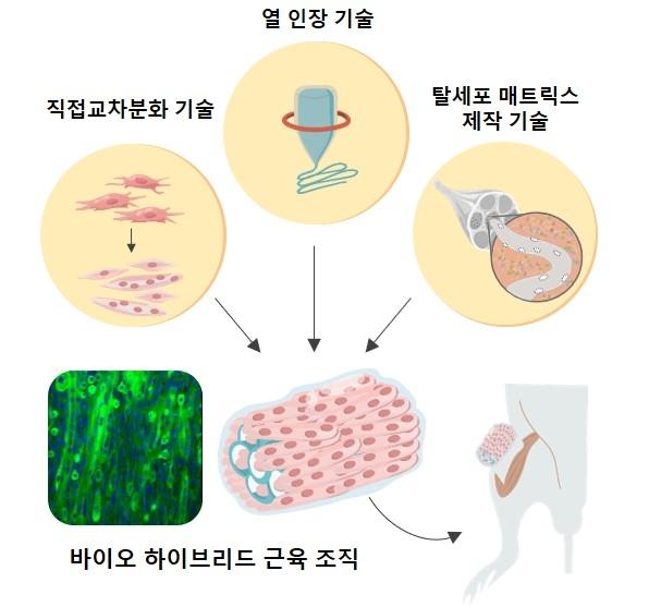 면역 거부 반응 없는 맞춤형 인공 근육 만든다