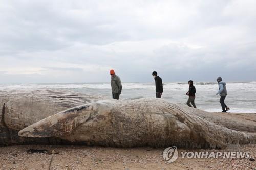 길이 17m 긴수염고래 새끼 이스라엘 해변서 죽은 채 발견