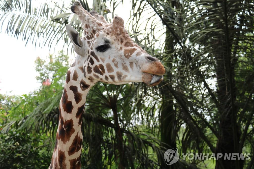 """기린도 친구없이 못산다…""""다른 기린과 어울리면 오래 살아"""""""