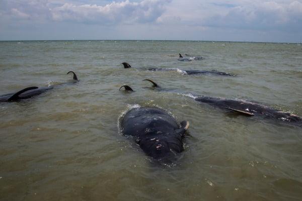 인도네시아 마두라섬 서쪽 해변에 떠밀려온 들쇠고래떼/사진=EPA