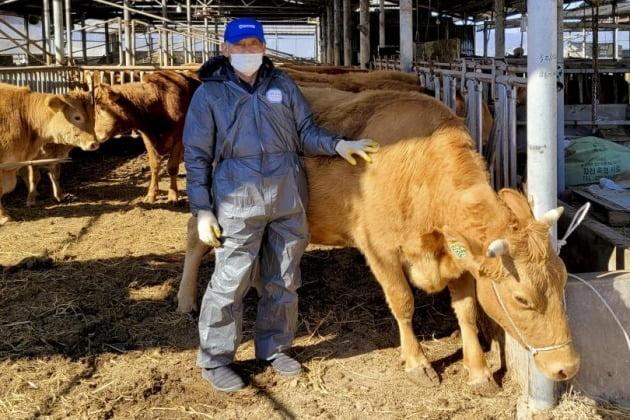 기사와 직접적인 연관 없음. 경남 합천군이 적중면 전병환 농가에서 생체중량이 무려 1.2t이 넘는 '슈퍼한우'가 탄생했다고 19일 밝혔다. 2021.2.19 [사진=합천군 제공]