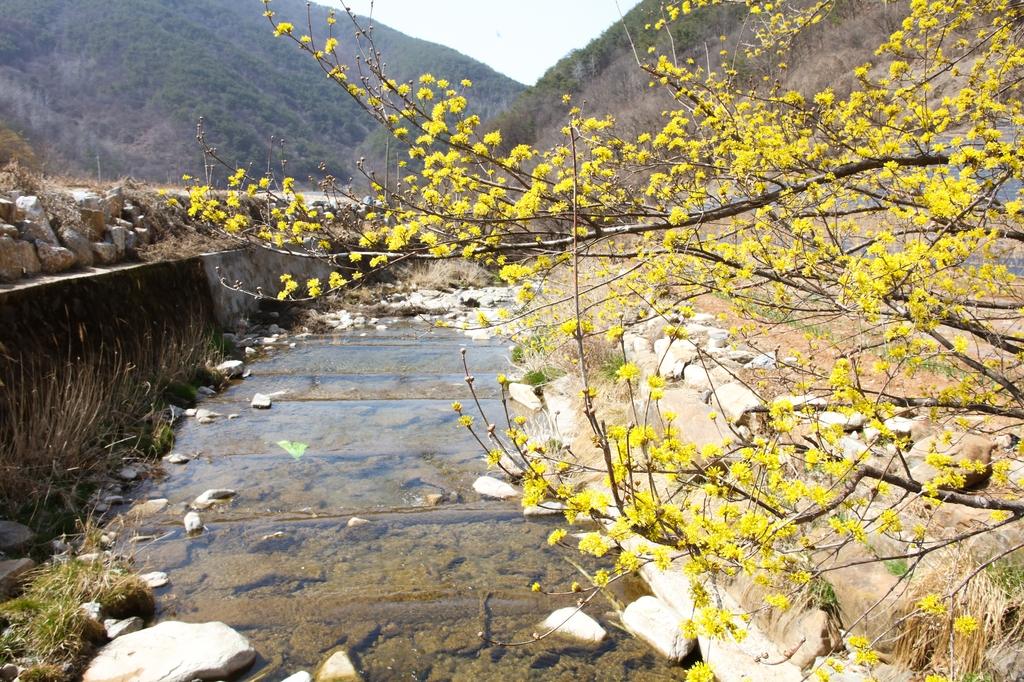 [픽! 단양] 보발리마을 노랗게 물들인 산수유꽃