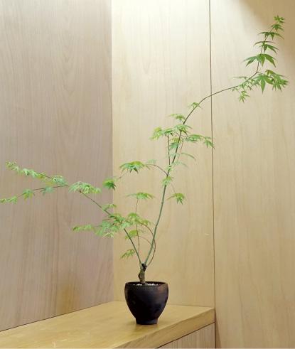이승엽 사사막 대표가 작업한 단풍나무