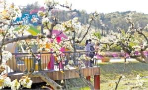 [이 아침의 풍경] 만개한 순백의 꽃 '이화'