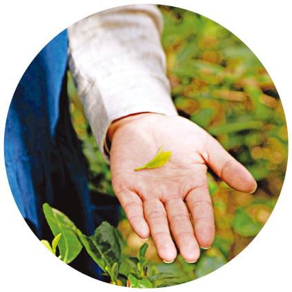 다산이 반한 비밀의 정원…걷다 보면 기분 좋은 茶향기 솔솔