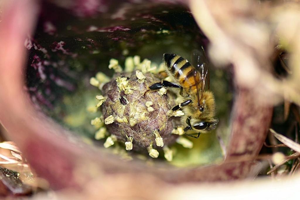 '양봉꿀벌' 특정 식물 번식 매개 첫 확인