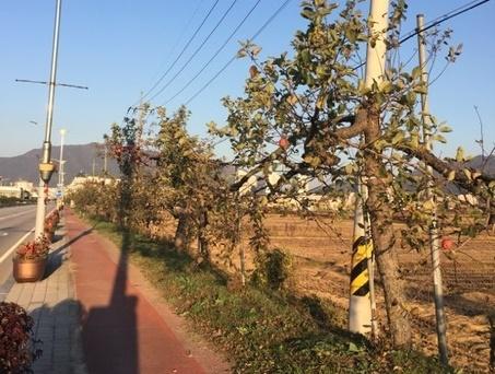 늙고 병든 충주 사과 가로수 다시 심는다…올해부터 순차 교체