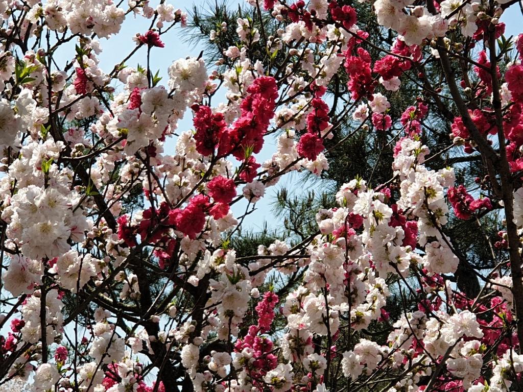 """[픽! 청주] """"어라, 꽃 색깔이 다르네""""…충북교육청 '삼색도' 눈길"""