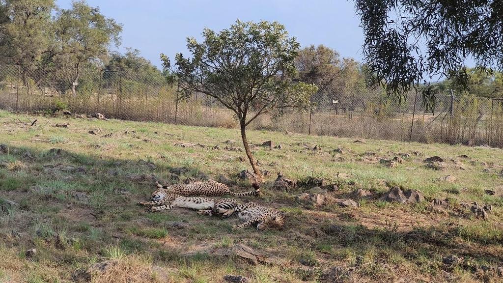[샵샵 아프리카] 가장 빠르나 달리지 않는 치타