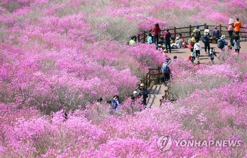 축제 취소에도 비슬산 참꽃 관람객 몰려 달성군 '곤혹'