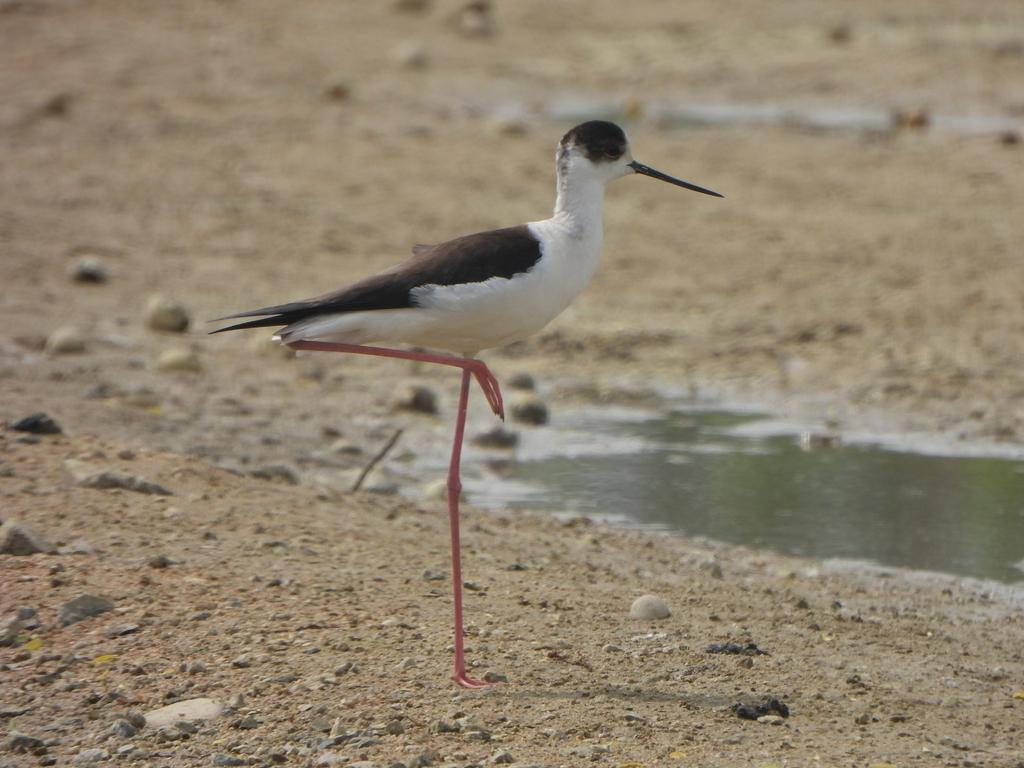 [픽! 세종] 국립세종수목원 찾은 희귀철새 장다리물떼새