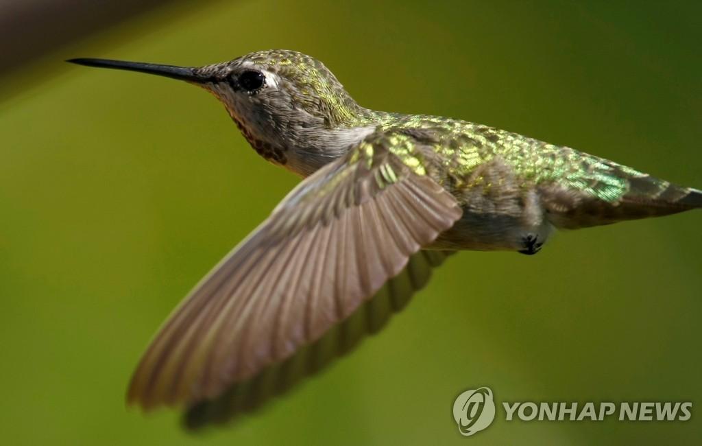 캐나다서 벌새 둥지에 '환경파괴 논란' 송유관 공사 4개월 중단