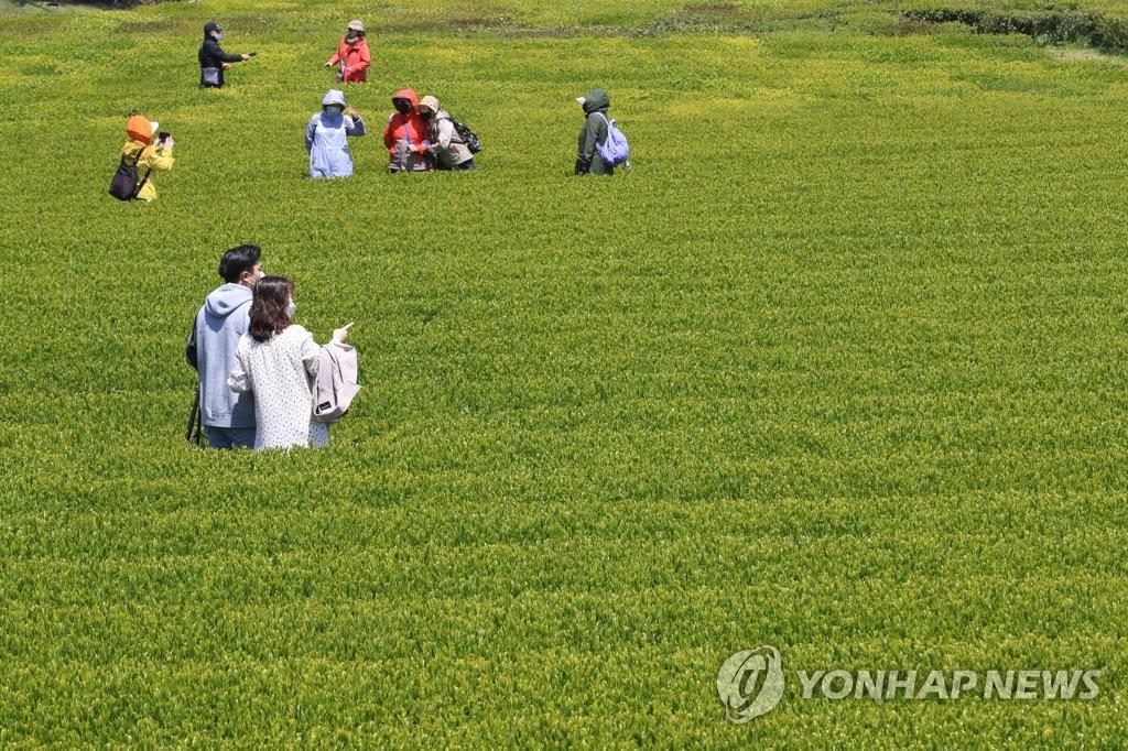 올해도 코로나19 특수?!…제주 이른 성수기 '바쁘다 바빠'