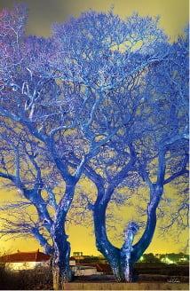 [사진이 있는 아침] 제주의 나무 '폭낭'