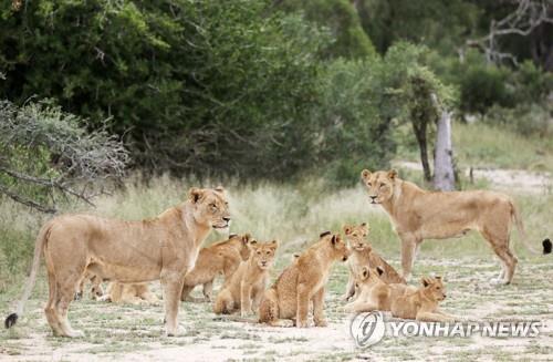 남아공 사냥용 사자 사육 등 금지…사자뼈 거래도