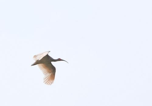 '국내 멸종' 따오기, 창녕 하늘 날다…40마리 자연으로 보내(종합)