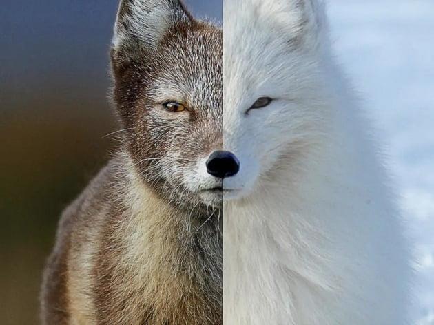 계절에 따라 털 색이 변하는 북극여우. / 사진제공=넷플릭스