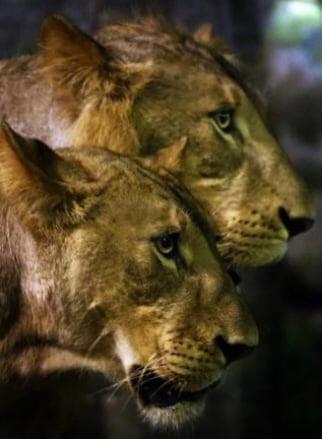 스리랑카 콜롬보 외곽 데히왈라 동물원의 사자들./ 사진=EPA